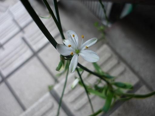 オリヅルラン