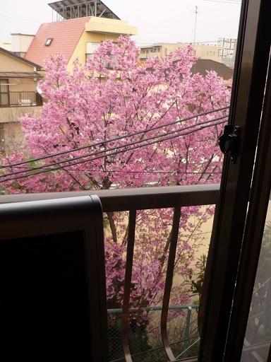 窓からの桜
