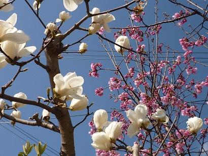 モクレン、桜