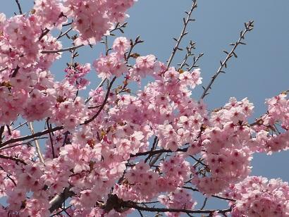 公園の桜、満開。