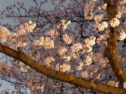 4月9日王子動物園夜桜