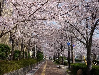 体育館横桜2011 2