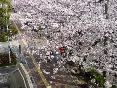 体育館横桜2011 1