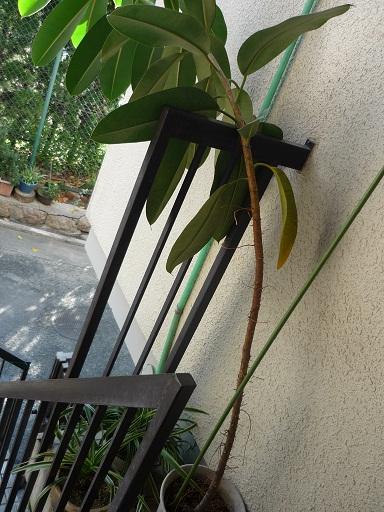 おじぎしたゴムの木
