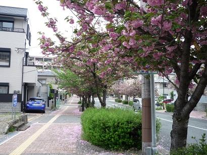 ピンクの桜1