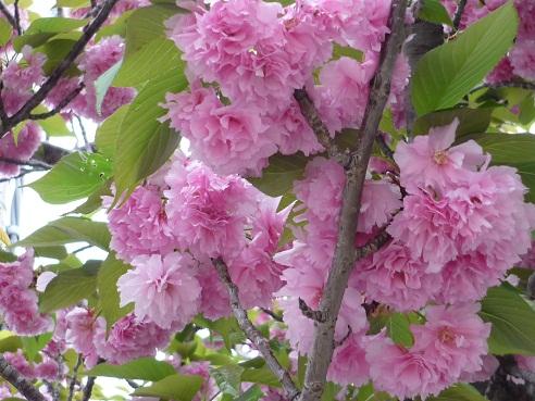 ピンクの桜2