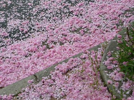 ピンクの桜3