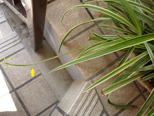 オリヅルランの芽