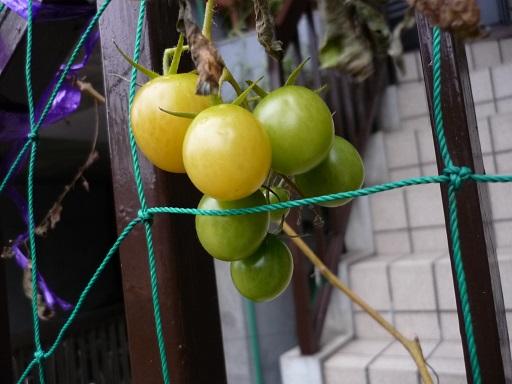 12月のミニトマト1