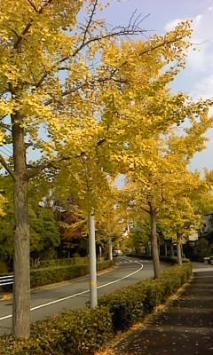 緑町の銀杏並木