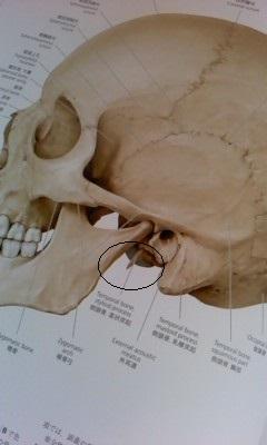 側頭骨 茎状突起1