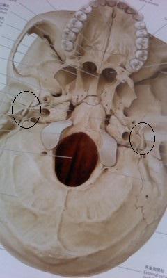 側頭骨 茎状突起2